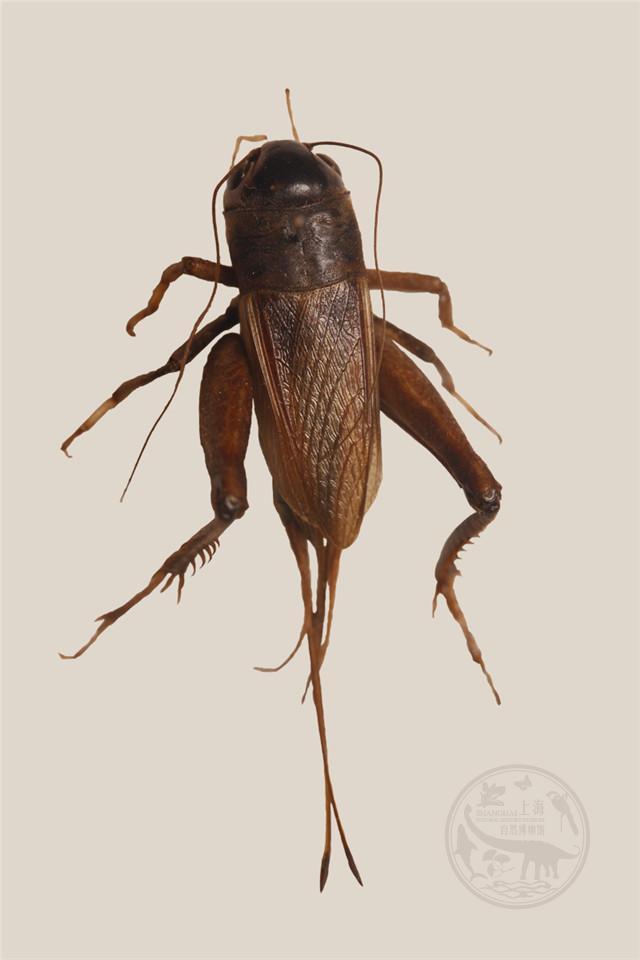 节肢动物门,昆虫纲,直翅目