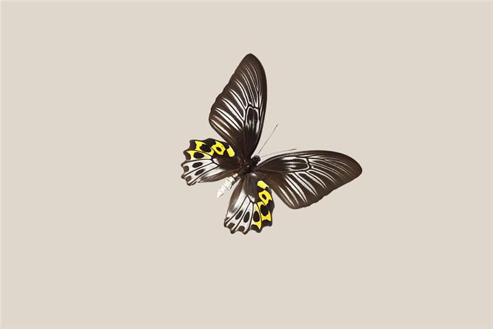 节肢动物门,昆虫纲,鳞翅目